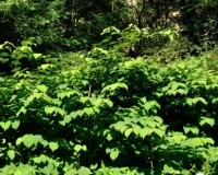 Japanese knotweed – a true nightmare for landowners